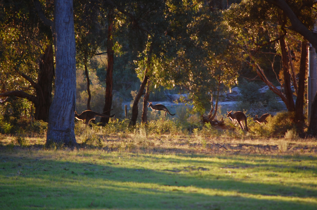 Kangaroos at Twilight