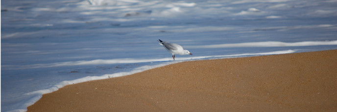 "It's a Silver Gull - so common that in Australia it's what they mean when they say ""seagull."""