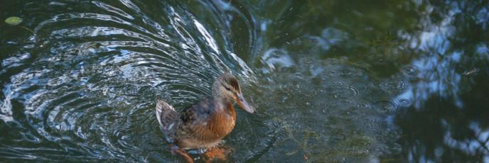 Mallard fledgling
