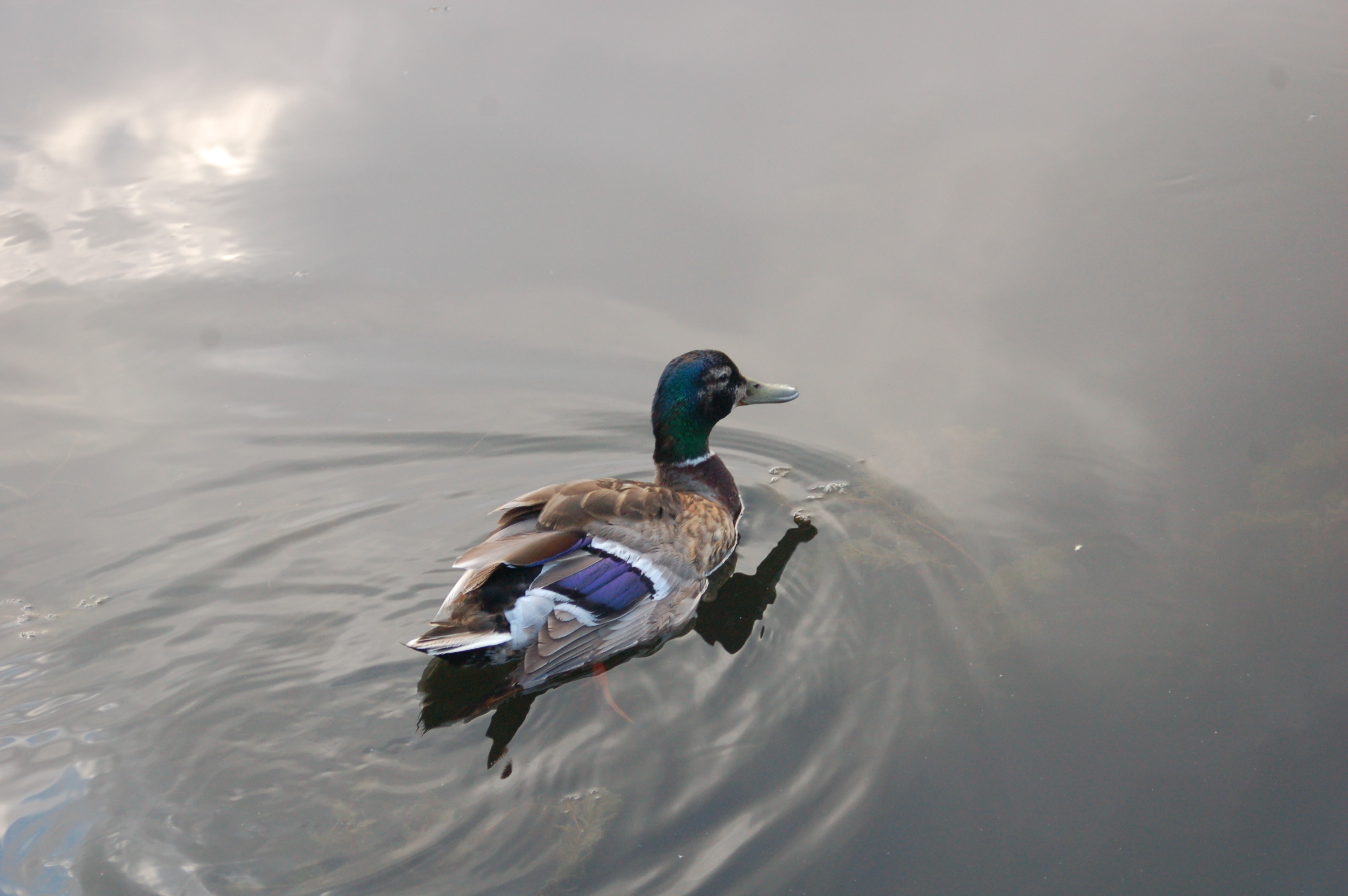 Mallard beginning the molt
